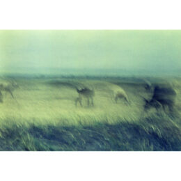 Kühe © Jeanne Fredac